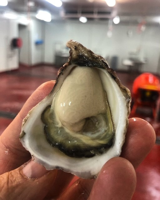 Pambula shucked sydney rock oysters